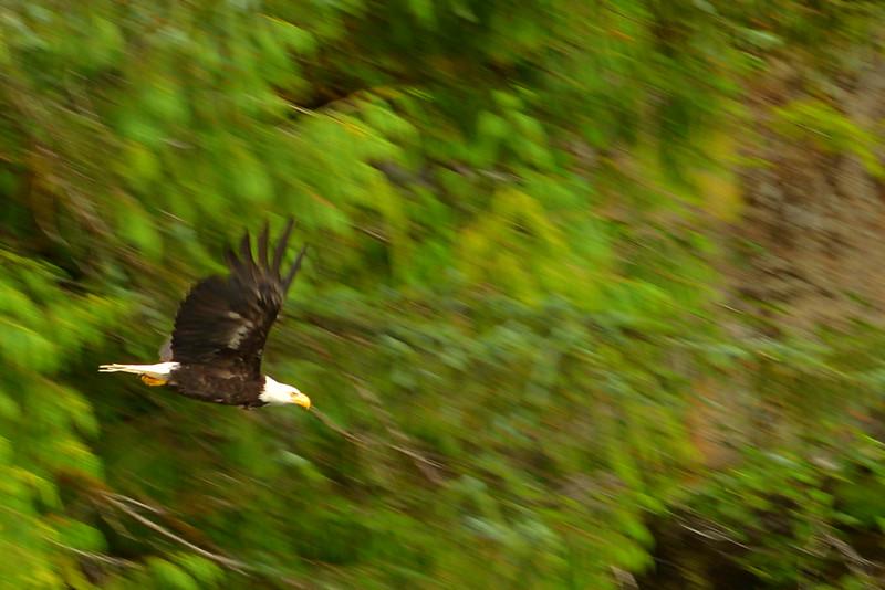 RMP_6893 crop Eagle Flight