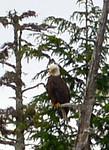 RMP_6688 c Eagle