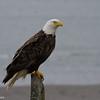 So many eagles!
