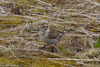 Lapland Longspur - female
