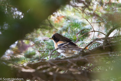 Brambling - first glimpse