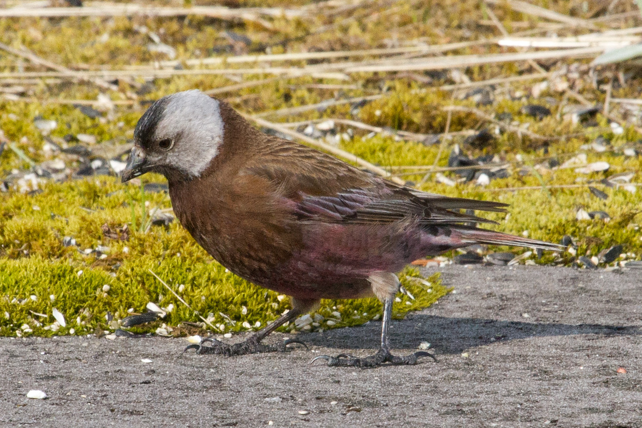 Gray Crowned Rosy Finch