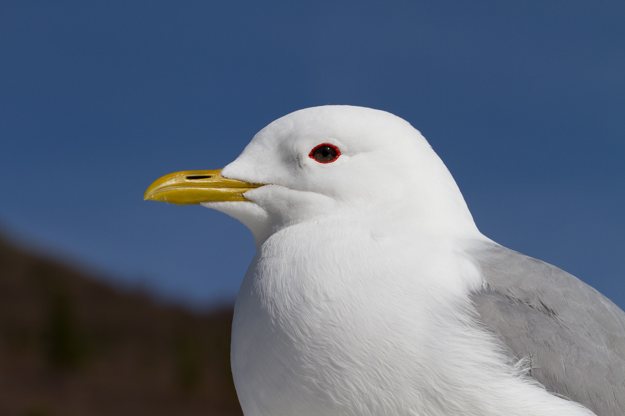 Gull, Mew