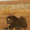 Muskox by Hugh Rose in September 2010.