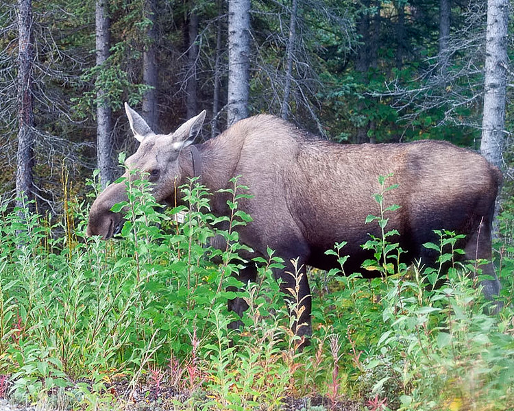Our First Moose was really exciting