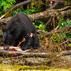 A spoiled black bear goes after the salmon roe and leaves the fish behind during the plentiful salmon run in Alaska.