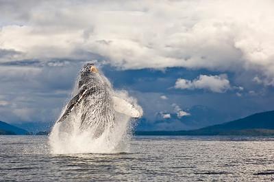 Humpback Whale Breaching, Megaptera novaeangliae