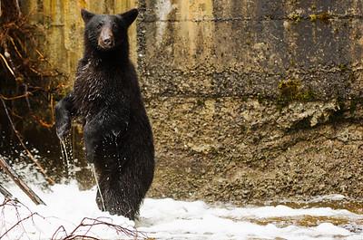 Black bear exploring and hunting salmon.