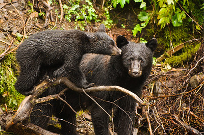 Black bear mother and cub, Alaska.
