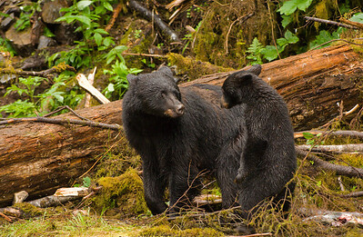 Black bear mother and cub, Alaska.