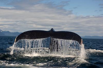 Humpback Whale Tail, Megaptera novaeangliae