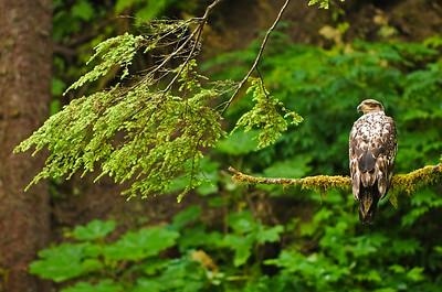 Bald eagles (Haliaeetus leucocephalus)