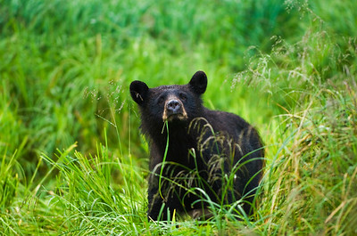 Black bear exploring and hunting salmon.