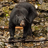 Black bear exploring and hunting salmon, Alaska.