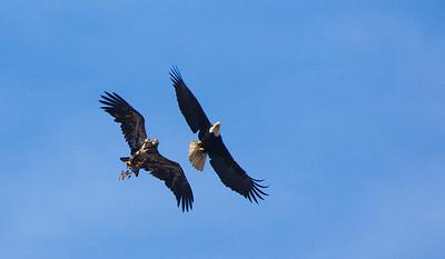 A mature Bald Eagle and a juvenile Bald Eagle soar in unison, Olympic National Park, Washington.