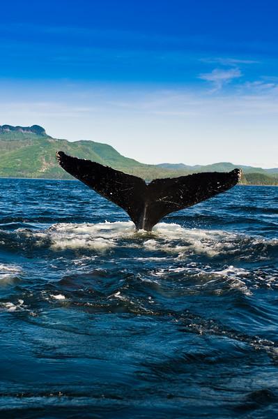Humpback Whale, Megaptera novaeangliae