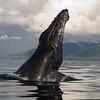 Humpback Whale lobbing, Megaptera novaeangliae
