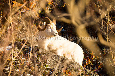 Sheep January 02, 2015 0258
