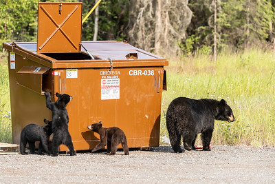 Black Bear sow with three cubs