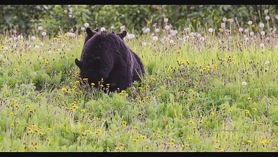 Video Black Bear sow with three cubs