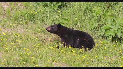 Sub adult black bear