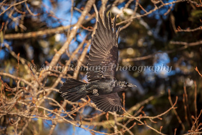 Bald Eagles and Ravens March 23, 2017 0436