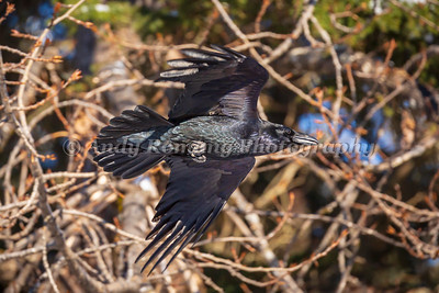 Bald Eagles and Ravens March 23, 2017 0437