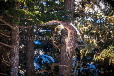 Bald Eagles and Ravens March 23, 2017 0374