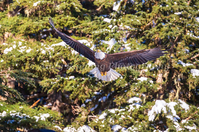 Bald Eagles and Ravens March 23, 2017 0172