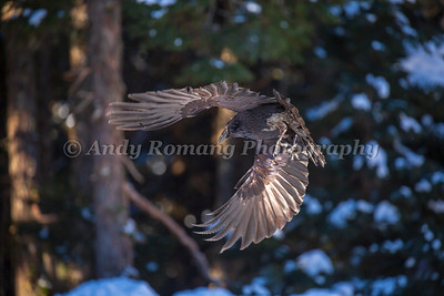 Bald Eagles and Ravens March 23, 2017 0398