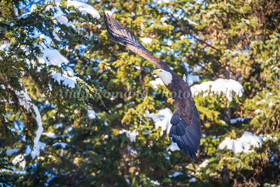 Bald Eagles and Ravens March 23, 2017 0339