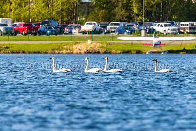 Four Swans at Lake Hood