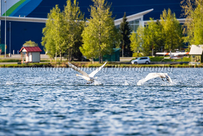 Swans at Lake Hood
