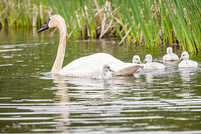 Swans with cygnets