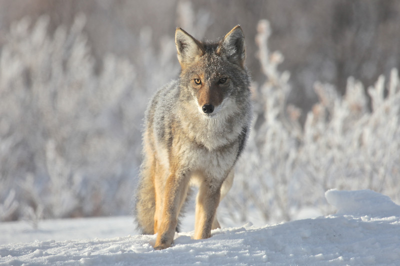 Photo of this Coyote was taken in the Yukon, temperature was around -3 at the time of this photo.
