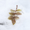 Leaf in the snow.