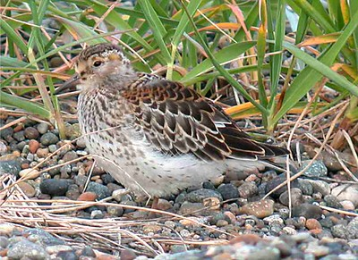 Rock Sandpiper1 (juv) - small (3025)