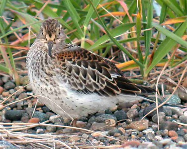 Rock Sandpiper2 (juv) - small (3026)