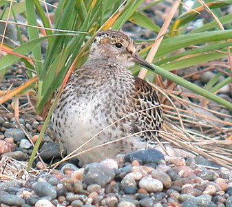 Rock Sandpiper3 (juv) - small (3015)