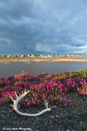 Dwarf Fireweed and a caribou antler laying on the tundra along the Sagavanirktok river with the Franklin Bluffs in the Background, North Slope, Arctic Alaska.<br /> <br /> July 04, 2013