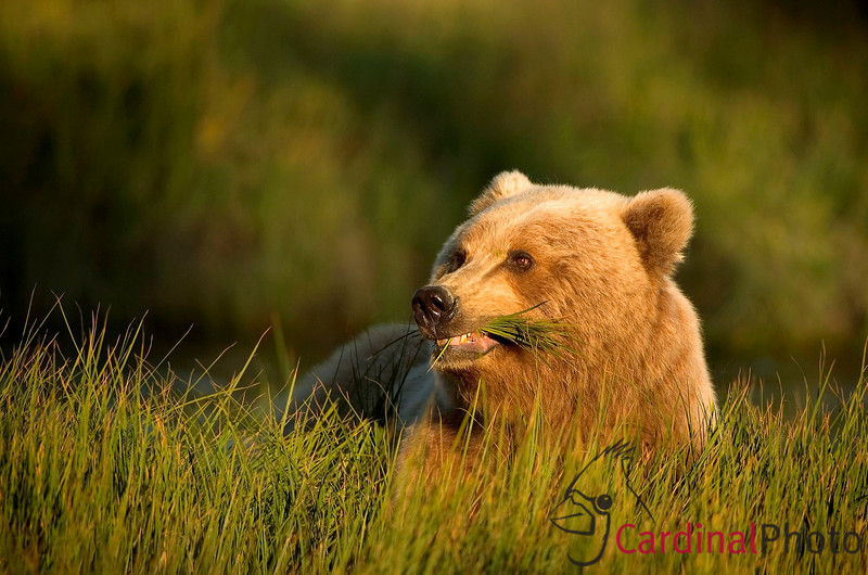 "In their native habitat most bears are indeed ""gentle giants"""