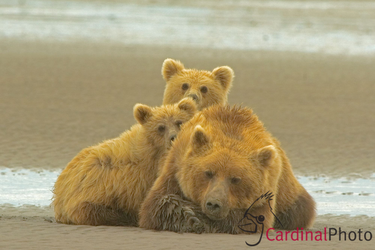 This family of bears is waiting for their chance to clam after larger bears leave