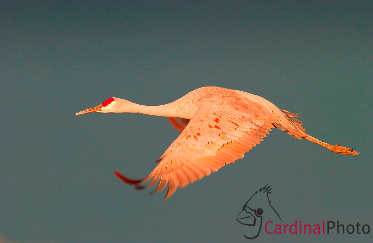 Most years Sandhill Cranes nest nearby