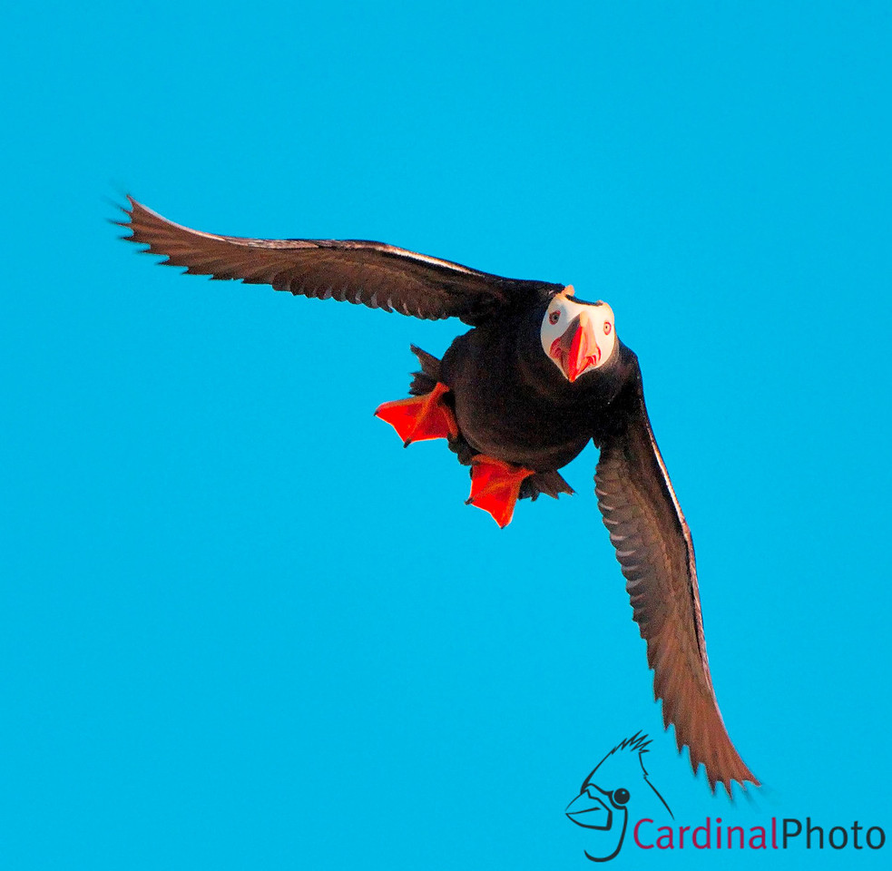 This Tufted Puffin is on his way in to his burrow