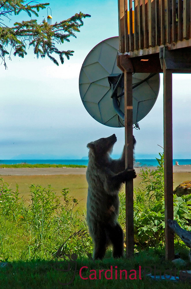 Sometimes the bears help adjust the satellite internet connection