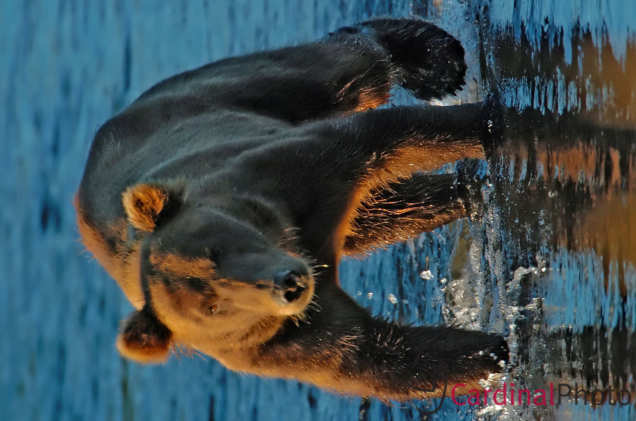The sound of a salmon jumping is enough to bring a nearby bear running