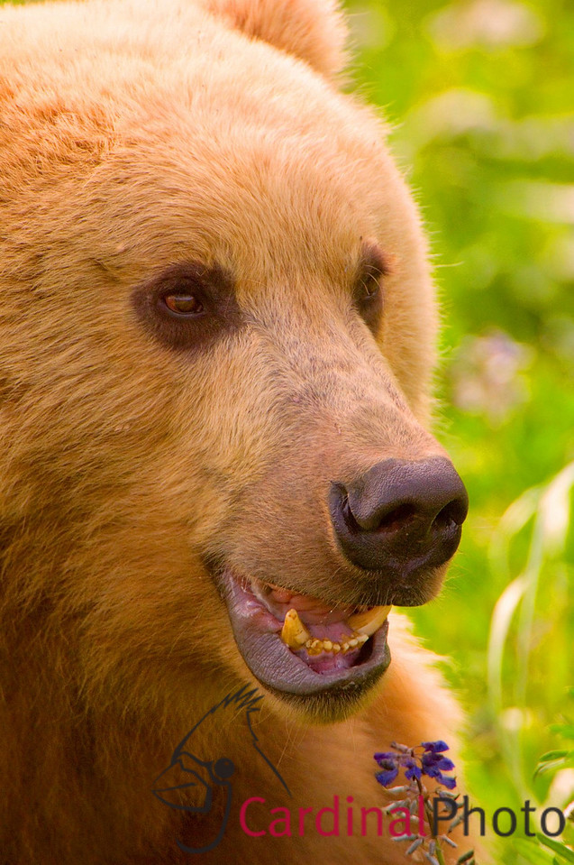 When bears are eating they're quite content to have their photo taken
