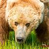 Alaska 2012 Bear & Puffin Photo Safaris : Photos from our 2012 Alaska Bear & Puffin photo safaris