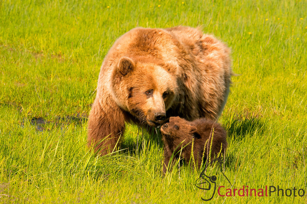 Alaska Brown Bears