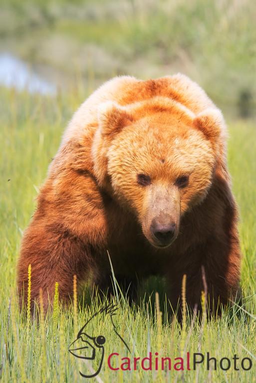 Alaska 2013 Bear & Puffin Safaris